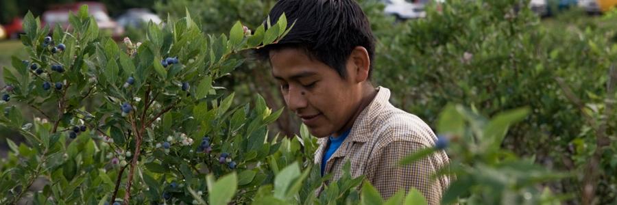 Aprende sobre sus derechos como trabajador agrícola de Carolina del Norte